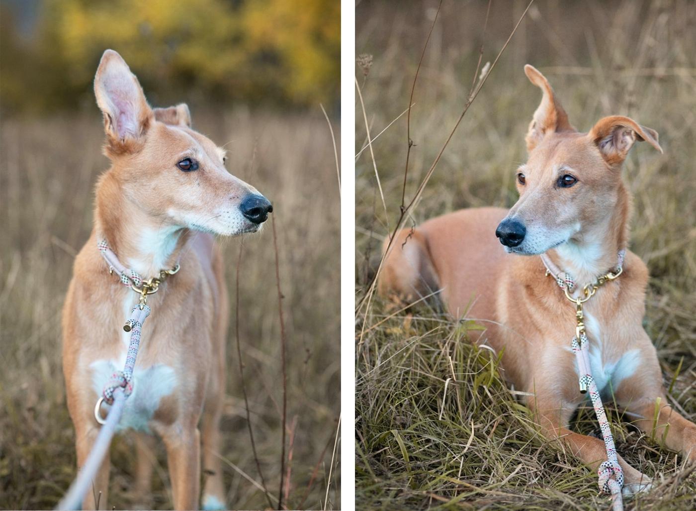 Hundeleine Schottenkaro beige kariert, 2-fach verstellbar an großem Hund.