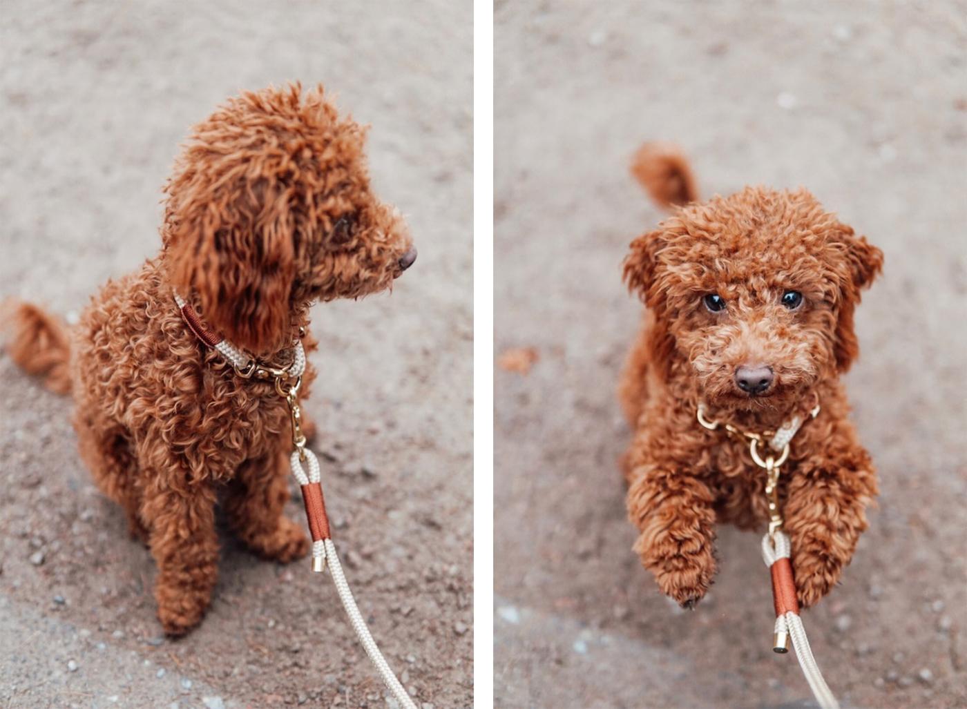 Hundeleine aus Tau und Halsband aus Tau in beige mit brauner Takelung an kleinem Zwergpudel.